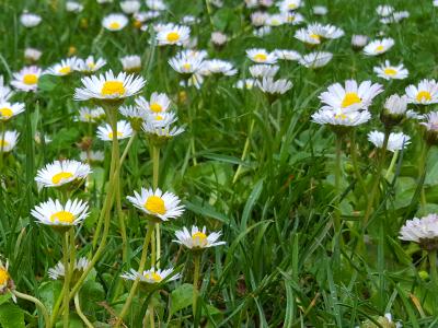Düngen im Frühjahr gegen Gänseblümchen