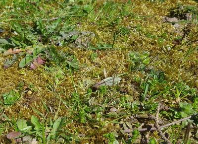 Rasen kalken hilft gegen Moos im Rasen