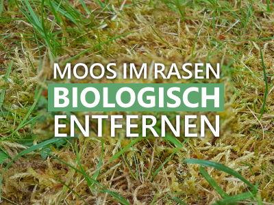 Moos im Rasen biologisch entfernen